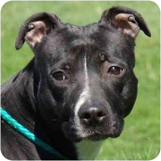 Pit Bull Terrier Mix Dog for adoption in Peoria, Illinois - Nita - urgent!