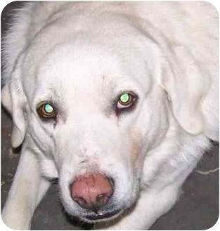 Great Pyrenees/Husky Mix Dog for adoption in Muskogee, Oklahoma - Pinky
