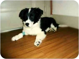 Border Collie Puppy for adoption in Austin, Texas - Conner
