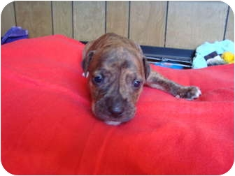 American Pit Bull Terrier Mix Puppy for adoption in Chicago, Illinois - Midnight