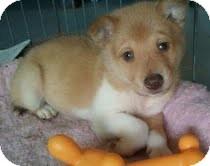 Collie/Husky Mix Puppy for adoption in Foster, Rhode Island - Sammy