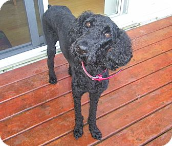Poodle (Standard) Dog for adoption in Rigaud, Quebec - Gracie