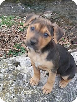 American Pit Bull Terrier Mix Puppy for adoption in Roaring Spring, Pennsylvania - Baby Girl