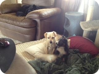 Dachshund/Labrador Retriever Mix Dog for adoption in Seattle, Washington - Daisy