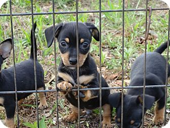Chihuahua/Dachshund Mix Puppy for adoption in Syacuse, New York - Rottie