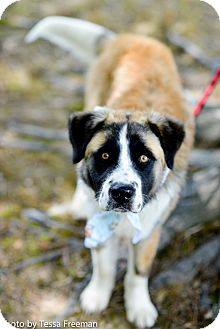 St. Bernard Mix Dog for adoption in Muldrow, Oklahoma - Victor