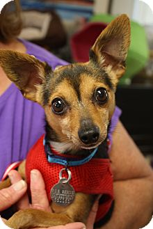 Chihuahua/Dachshund Mix Dog for adoption in Homewood, Alabama - Wylie