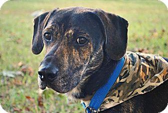 Hound (Unknown Type) Mix Dog for adoption in Manassas, Virginia - Harley