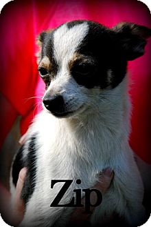 Chihuahua Mix Puppy for adoption in Vancleave, Mississippi - Zip