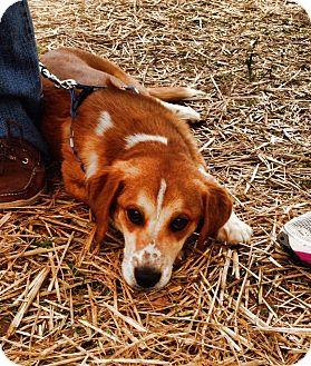 Labrador Retriever/German Shepherd Dog Mix Puppy for adoption in Charlotte, North Carolina - Seamus