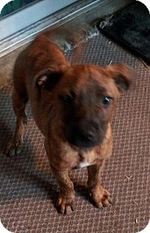 Hound (Unknown Type)/Labrador Retriever Mix Puppy for adoption in Blue Bell, Pennsylvania - Mustang