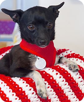 Chihuahua/Terrier (Unknown Type, Small) Mix Dog for adoption in Huntsville, Alabama - Tiny Tito