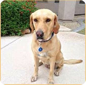 Labrador Retriever Dog for adoption in Phoenix, Arizona - Amber
