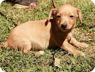 Dachshund/Chihuahua Mix Puppy for adoption in Portland, Maine - Chris(IN NEW ENGLAND)