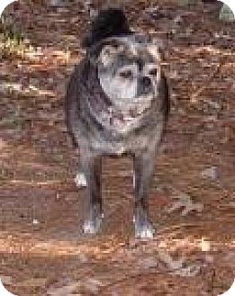 Boston Terrier/Pug Mix Dog for adoption in Mount Pleasant, South Carolina - Maddie