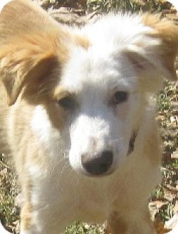 Border Collie/Collie Mix Puppy for adoption in Oliver Springs, Tennessee - Fergus