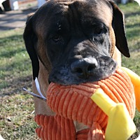 Adopt A Pet :: Meril - Phoenixville, PA