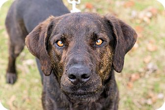 Plott Hound/Labrador Retriever Mix Dog for adoption in Midland, Michigan - Frank