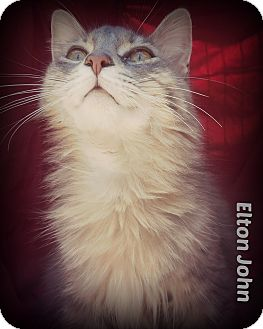 Domestic Mediumhair Cat for adoption in Ocean Springs, Mississippi - Elton John