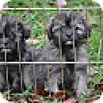 Shih Tzu/Terrier (Unknown Type, Small) Mix Puppy for adoption in Richmond, Virginia - Java