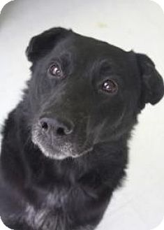 Labrador Retriever/Shar Pei Mix Dog for adoption in Yukon, Oklahoma - Connery