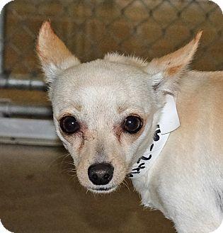 Chihuahua Mix Dog for adoption in Spokane, Washington - Stella