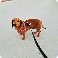 Adopt A Pet :: Domi - Vancouver, BC