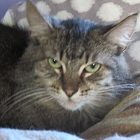 Domestic Longhair Cat for adoption in Coos Bay, Oregon - Eddie