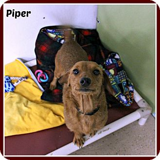 Dachshund/Schnauzer (Miniature) Mix Dog for adoption in New Richmond,, Wisconsin - Piper