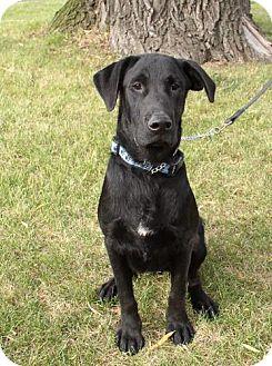 Labrador Retriever/Labrador Retriever Mix Dog for adoption in Palatine/Kildeer/Buffalo Grove, Illinois - Ernie