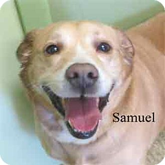 Labrador Retriever Mix Dog for adoption in Warren, Pennsylvania - Samuel