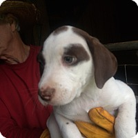 Adopt A Pet :: Filly - Hohenwald, TN