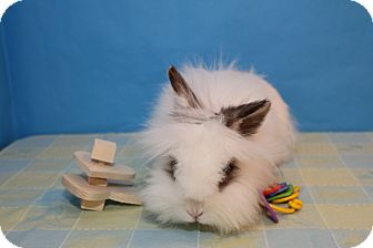 Lionhead Mix for adoption in Birmingham, Alabama - Merrill