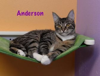 Domestic Shorthair/Domestic Shorthair Mix Cat for adoption in Baton Rouge, Louisiana - Anderson