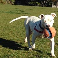 Adopt A Pet :: Marshmallow - San Francisco, CA