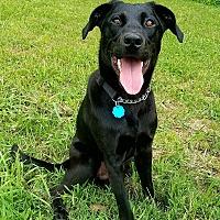Adopt A Pet :: BOJANGLES - Nashville, TN