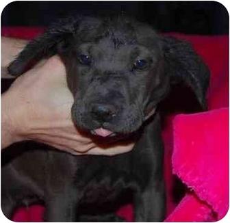 Labrador Retriever Mix Puppy for adoption in Broomfield, Colorado - Nellie Cashman