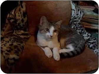 Domestic Shorthair Cat for adoption in North Plainfield, New Jersey - Sherman