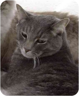Domestic Shorthair Cat for adoption in Rolling Hills Estates, California - Theos