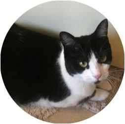 Domestic Shorthair Cat for adoption in Sugar Land, Texas - -Cassie