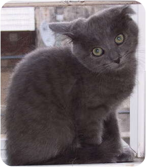 Chartreux Kitten for adoption in Philadelphia, Pennsylvania - Pierre (15 weeks old)