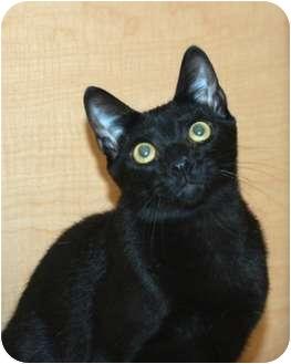 Domestic Shorthair Kitten for adoption in Houston, Texas - Cooper
