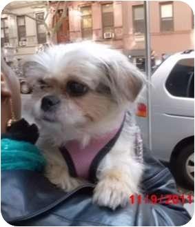 Yorkie, Yorkshire Terrier/Shih Tzu Mix Dog for adoption in Long Beach, New York - Mara