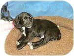 Cocker Spaniel Puppy for adoption in Algonquin, Illinois - Bailey