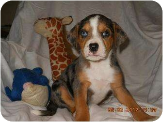 Catahoula Leopard Dog Mix Puppy for adoption in berwick, Maine - Jewel