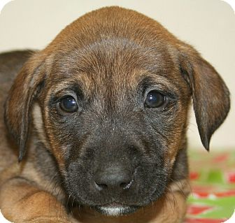 Boxer/Shepherd (Unknown Type) Mix Puppy for adoption in Westminster, Colorado - Champagne