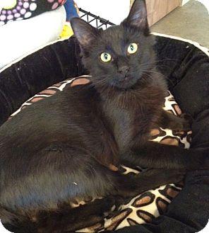 Domestic Mediumhair Kitten for adoption in Byron Center, Michigan - Chamberlain