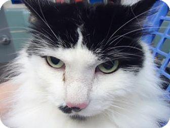 Domestic Mediumhair Cat for adoption in batlett, Illinois - Cheeka $29