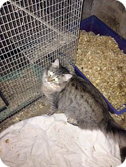 Maine Coon Cat for adoption in Wanaque, New Jersey - 2 maine coons