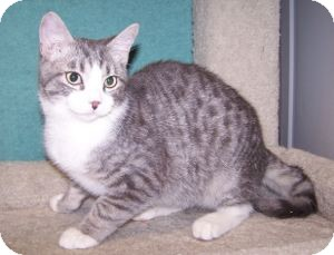 Domestic Shorthair Kitten for adoption in Colorado Springs, Colorado - K-Eva4-Flynn